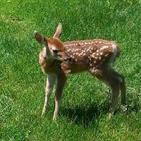 deer1fb
